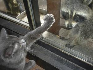 raccoon_mcduff
