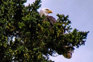 eagle_hopewell