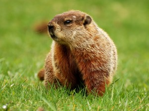 marmot_large